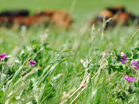 flowers_cattle